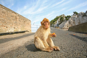 Babary Ape On The Top Of The Rock Of Gibraltar
