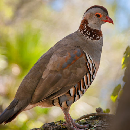 Gibraltar Barbary Partridge Bird