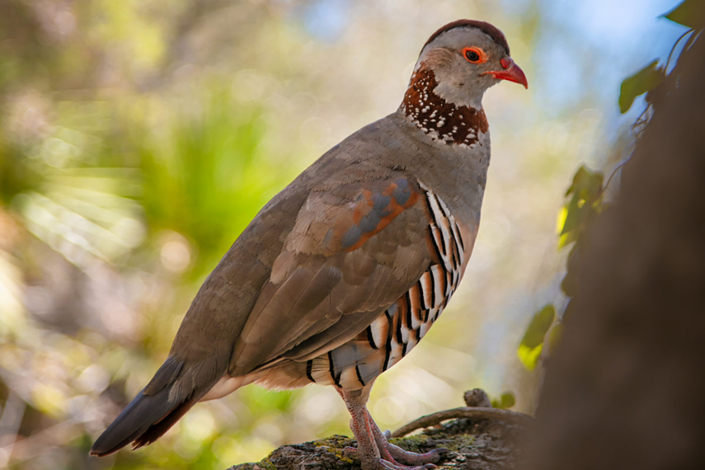 Gibraltar Barbary Partridge Bird