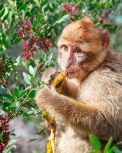 Gibraltar Monkey 01